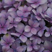 Hydrangea In Lavender 1 Art Print