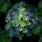 Hydrangea - Flowers Art Print