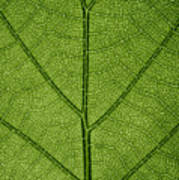 Hydrangea Leaf Art Print