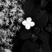 Hydrangea Petiolaris Art Print