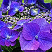 Hydrangea Plant Art Print