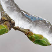 Ice Storm Buds Art Print
