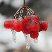 Ice Wrapped Berries Art Print