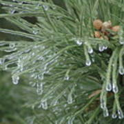 Iced Pine Art Print