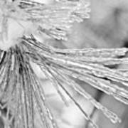 Iced Pine Needles Art Print