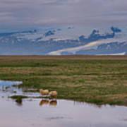 Iceland Sheep Reflections Panorama  Art Print