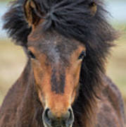 Icelandic Equine Beauty.. Art Print