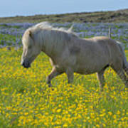 Icelandic Horse, Iceland Art Print
