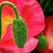 Icelandic Poppy Pod Art Print