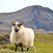 Icelandic Sheep Art Print