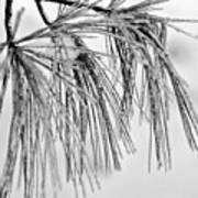 Icy Pines On A Snowy Day Art Print