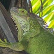 Iguana Puerto Rico Art Print