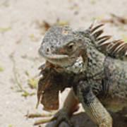 Iguana Sitting On A Sandy Beach In Aruba Art Print