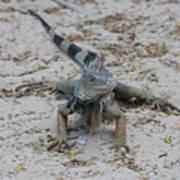 Iguana With A Striped Tail On A Sand Beach Art Print