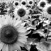 Illinois Sunflowers Art Print
