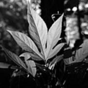 Illuminated Leaf, Black And White Art Print