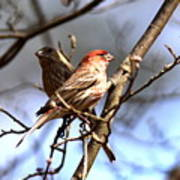 Img_0001 - House Finch Art Print