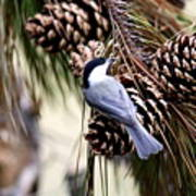 Img_0215-022 - Carolina Chickadee Art Print
