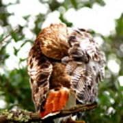 Img_1049-006 - Red-tailed Hawk Art Print