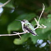 Img_3309 - Ruby-throated Hummingbird Art Print