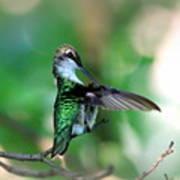 Img_4595-004 - Ruby-throated Hummingbird Art Print