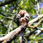 Img_7276 - Mourning  Dove Art Print
