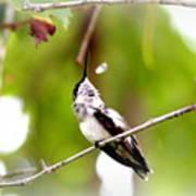 Img_7436-020 - Ruby-throated Hummingbird Art Print