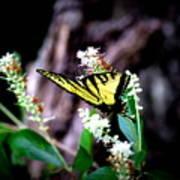 Img_8960 - Tiger Swallowtail Butterfly Art Print