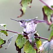 Img_9114-003 - Ruby-throated Hummingbird Art Print