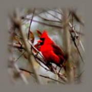 Img_9241 - Northern Cardinal Art Print