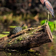 Immature Tri-colored Heron And Peninsula Cooter Turtle Art Print