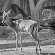 Impala    Black And White Art Print