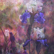 Impressionist Purple And White Irises 6647 Idp_2 Art Print