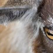 In A Goat's Eye Art Print
