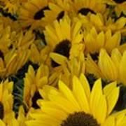 In Full Bloom - Sunflowers Art Print