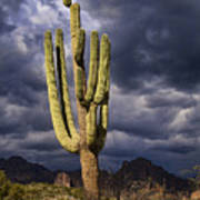 In Search Of That Perfect Saguaro  Art Print