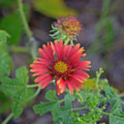 Indian Blanket Flower Art Print