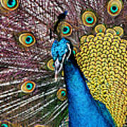 Indian Blue Peacock Art Print