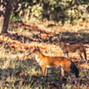 Indian Wild Dogs Dholes Kanha National Park India Art Print