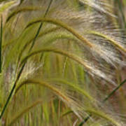 Indiangrass Swaying Softly With The Wind Art Print