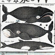 Indigenous Fish, Greenland, 18th Century Art Print
