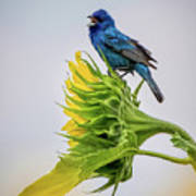 Indigo Bunting Sunflower Art Print
