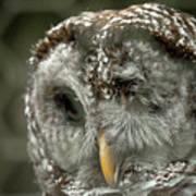 Injured Owl Art Print
