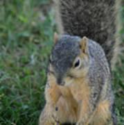 Inquisitive Squirrel Art Print