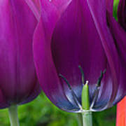 Inside Tulip Art Print