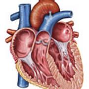 Interior Of Human Heart Art Print