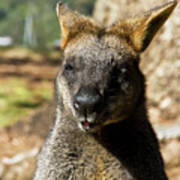 Interview With A Swamp Wallaby Art Print