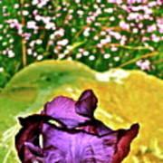 Iris 11 Art Print