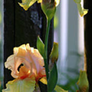 Iris Along The Fence 6731 H_2 Art Print