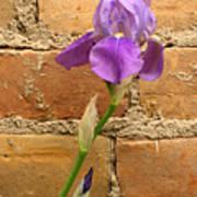Iris And The Wall Art Print